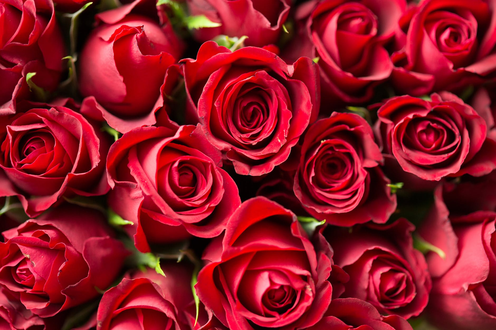 red roses close up photography